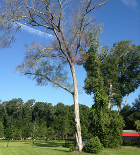 Tree Removal Debary
